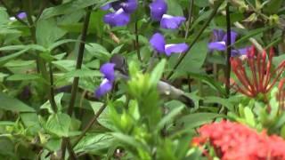 Long Billed & Purple Rumped Sunbirds