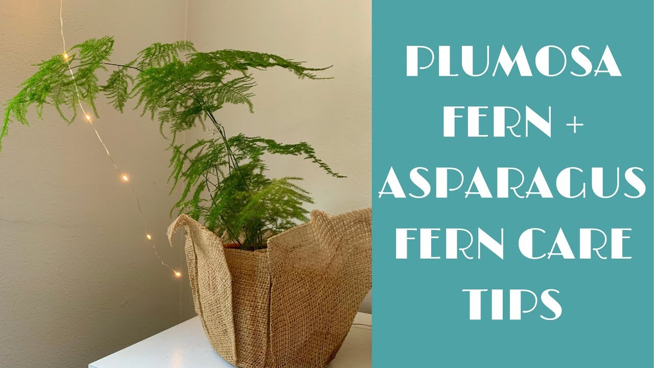 Plumosa Asparagus Fern Indoor Care Tips Youtube