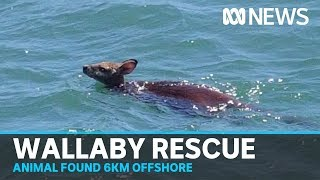 Wallaby rescued swimming 6km off South East Queensland coast | ABC News