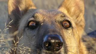 A Very Smart German Shepherd