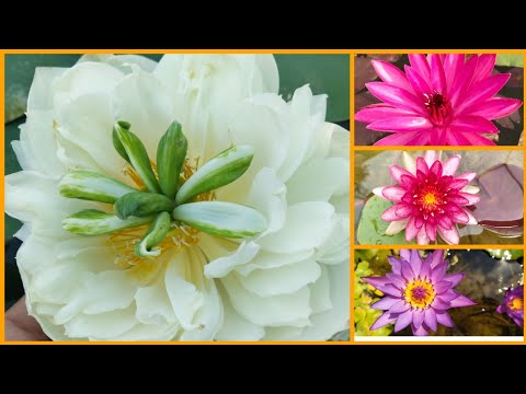 All About Water Lilly & Lotus Plant (full Information) On Your Demands👍👍👍