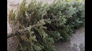 Новогодней елке можно подарить вторую жизнь