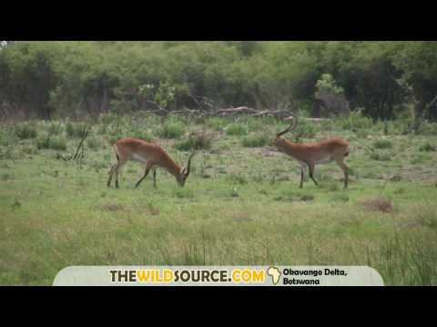 Red Lechwe male aggression displays
