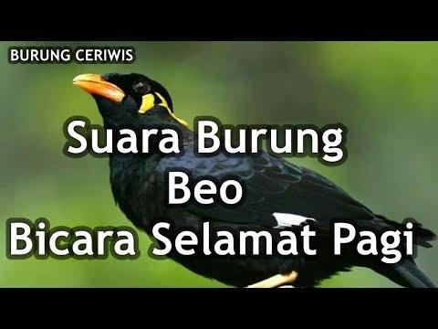 Suara Burung Beo Gacor Bicara Selamat Pagi Cocok Buat Masteran