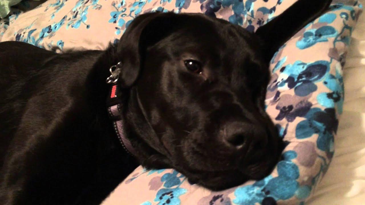 killer black lab labrador adolescent labrador