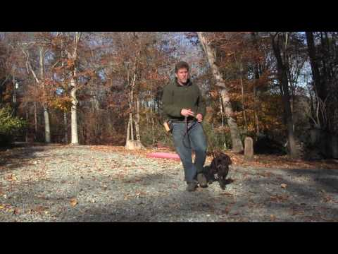 Boykin Spaniel Puppy Training | Winston Salem NC | Chickie