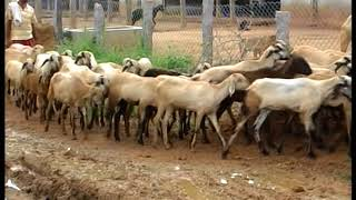 SUCCESSFUL SHEEP AND GOAT FARM, RAMPUR, TELANGANA:INDIA