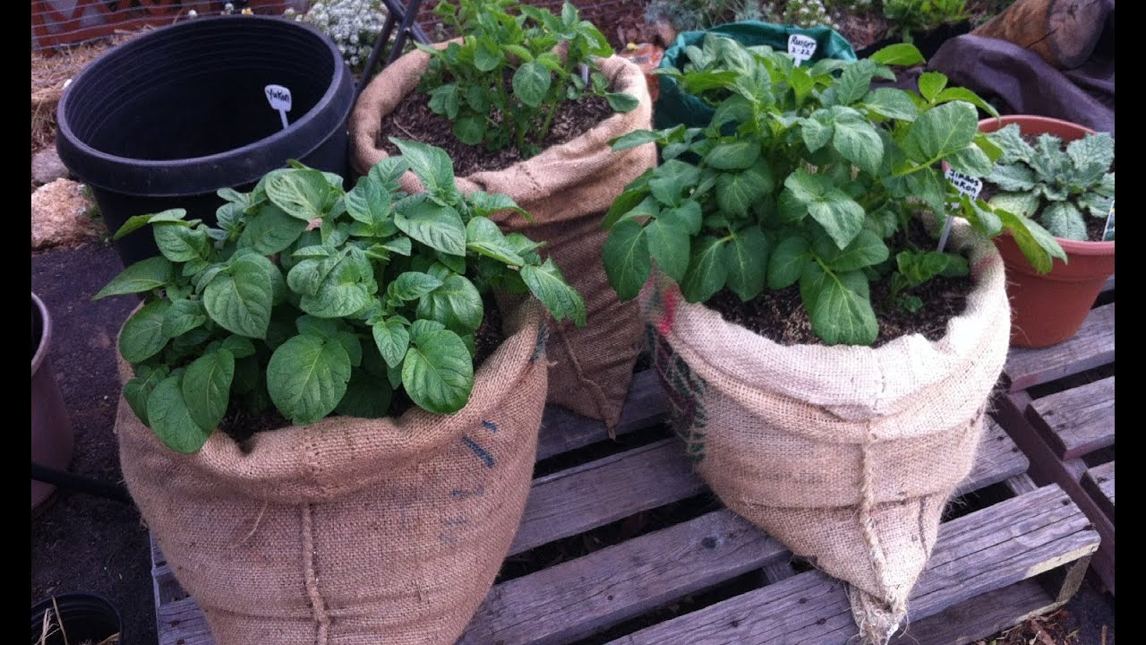 Plant Potatoes In Bags Of Burlap Above Ground From Home Grown Fun   YouTube