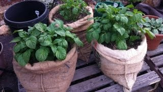 Plant Potatoes in Bags of Burlap Above Ground from Home Grown Fun