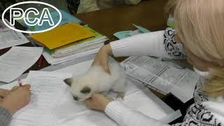 Котенок Священная бирма Жофрей де Зетран Белые лапки