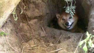 柴犬の巣穴? shiba inu