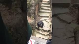 Шимпанзе в Зоопарке бросает какашку в лицо бабушки!
