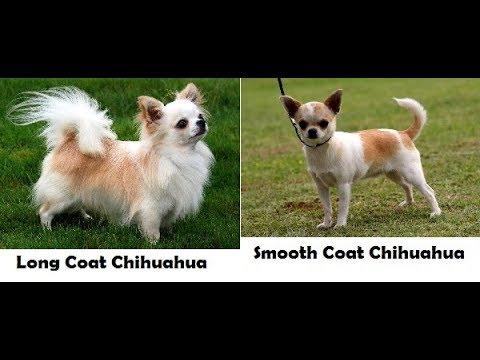 Fakta Unik Tentang Anjing Chihuahua Yang Jarang Orang Tau Youtube