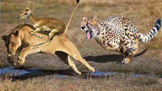 10 ऐसे जानवर जिन्होंने लड़ाई में मौत को मात दे दी 10 CRAZIEST ANIMAL FIGHTS CAUGHT ON CAMERA