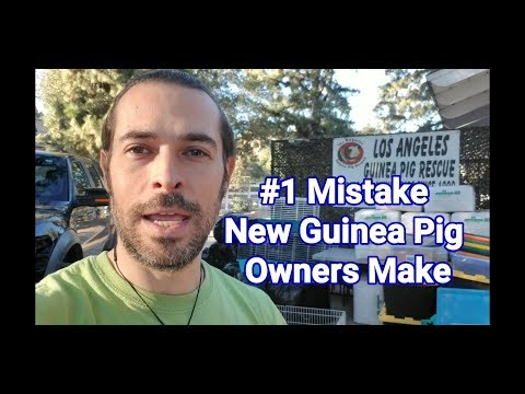 #1 Mistake New Guinea Pig Owners Make