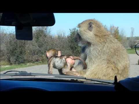 Baby baboons on our car at African Lion Safari