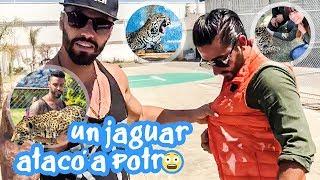 Un jaguar atacó a Potro !