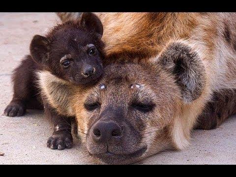 Вся правда о гиенах! Фильмы про животных, новые документальные фильмы - Ruslar.Biz