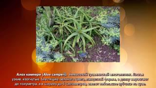 видео Растение алоэ: уход в домашних условиях, размножение, пересадка, полезные свойства, сорта и виды с фото