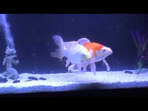 Butterfly koi in new 125 gallon tank youtube for 10 gallon koi tank