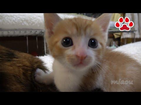 子猫まや、9回目の猫部屋訪問。みみ!空気よんで!!【瀬戸のまや日記】Cute kitten Maya's 9th visit to the cats room.