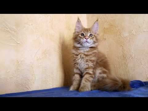 Mainecoon kitten Valdai