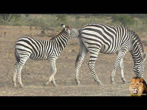 baby-zebra-in-action