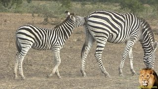 Baby Zebra In Action