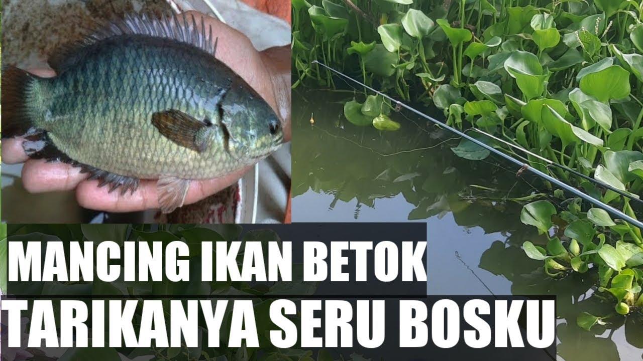 Mancing ikan betok tarikannya mantul
