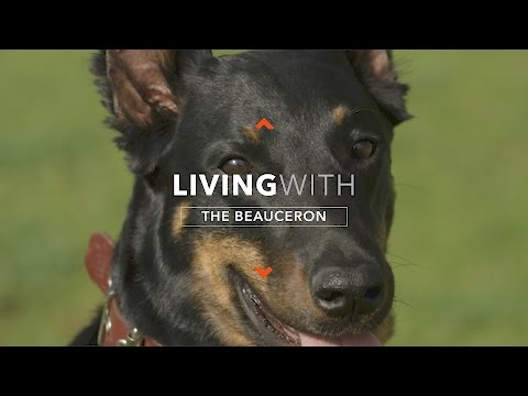 ALL ABOUT LIVING WITH A BEAUCERON SERVICE DOG