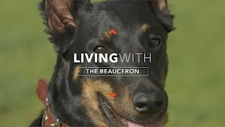 ALL ABOUT LIVING WITH A BEAUCERON DOG