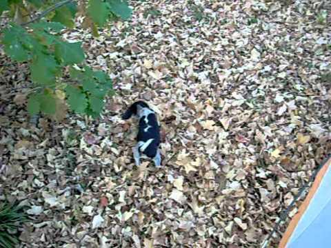 bluetick beagle pup training