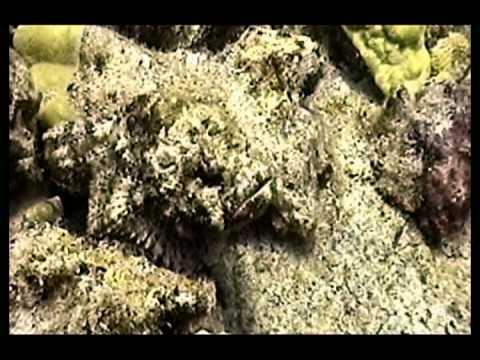 Devil Scorpionfish In Hawaii