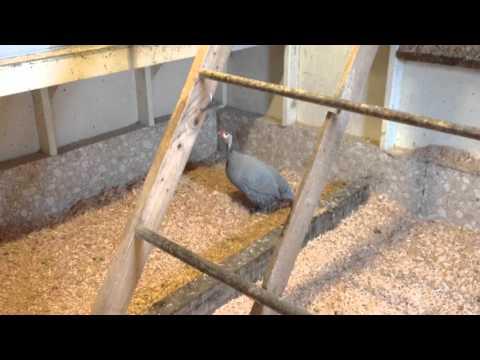 What A Female Guinea Fowl Sounds Like