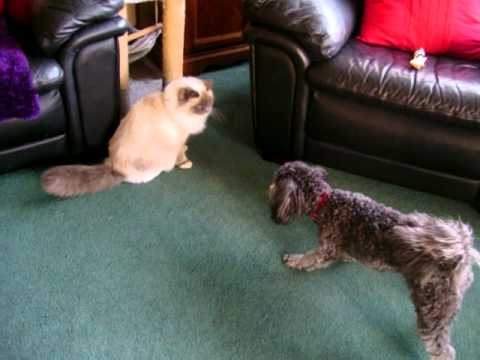My Dog and Birman Cat playing together!