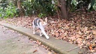 公園を歩いていたら遠くから三毛猫が駆け寄って来た