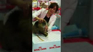 Норвежская лесная кошка Patricia Forest Song, выставка кошек 17-18.02.2018, Новосибирск