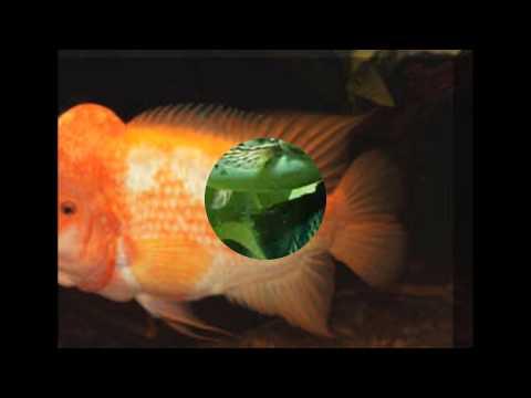 10 most aggressive aquarium fish youtube for Most aggressive freshwater fish