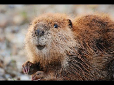 Leave It To Beavers Full Documentary