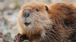 Leave It To Beavers (Full Documentary)