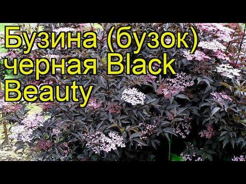 Бузина черная Блэк Бьюти (Black Beauty). Краткий обзор, описание характеристик, где купить саженцы