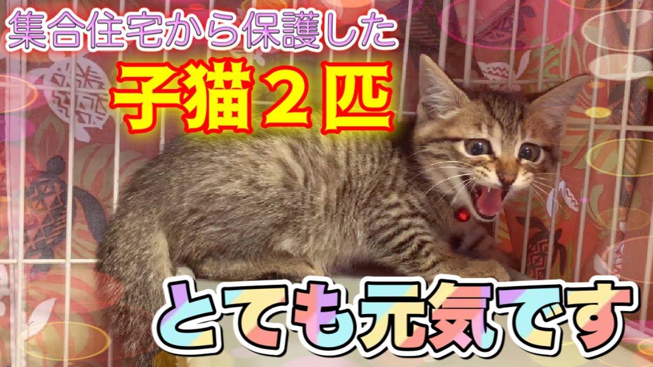 生後2ヶ月の子猫2匹を保護した次の日の様子【We rescued 2 kittens】
