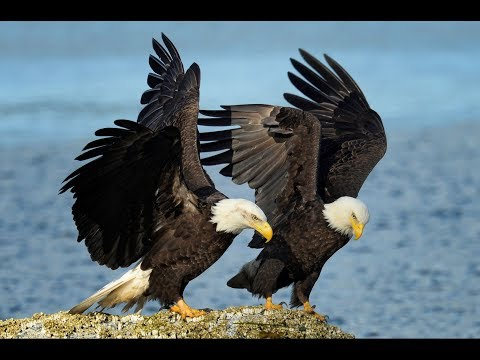 News of Eagle Nests across North America  - North East Florida Nest and more surprises