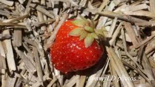U PICK at Johnson's Farm in Hobart, Indiana 夏游 摘蓝莓 草莓 疏菜