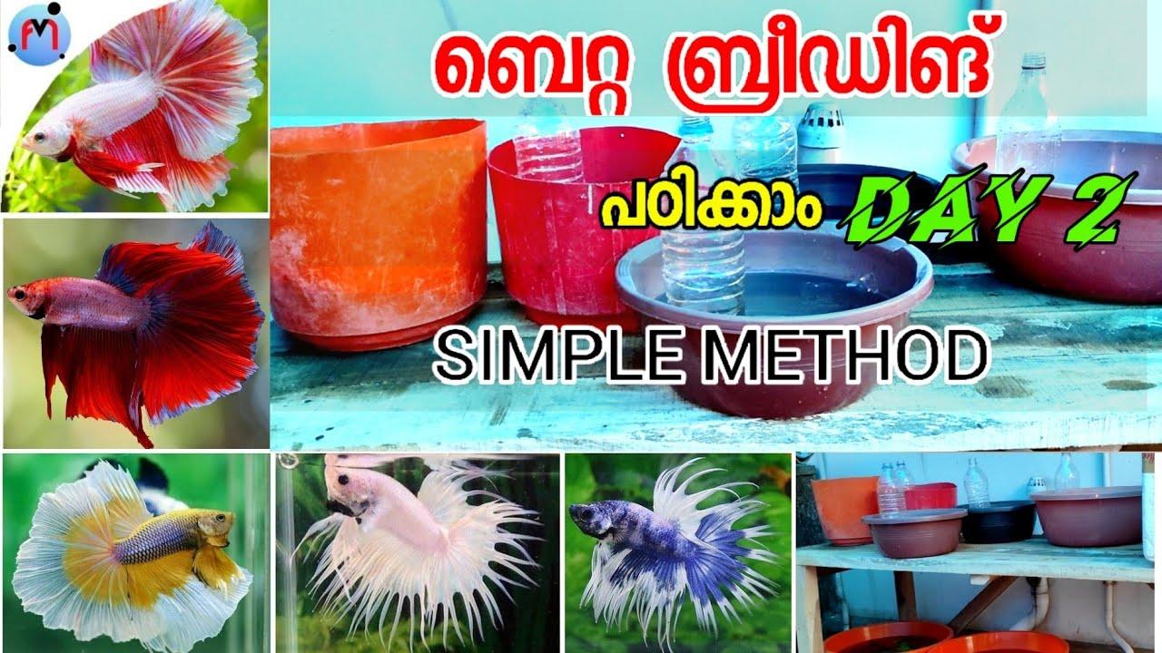Betta breeding malayalam   DAY 2