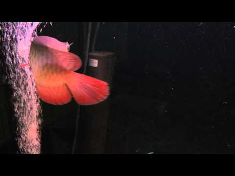 "ปลามังกรแดง MuPeat = HQ Super Chili Red 8"" Robin arowana farm"