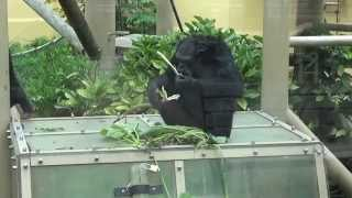 2014.6.4 京都市動物園にて撮影。 2:00ぐらい~、母親が道具づくり...