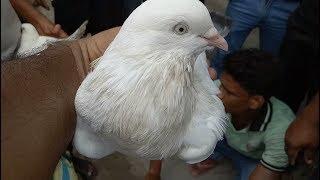 PIGEON MARKET- GARIA( FRIDAY)