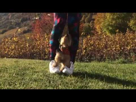 Yorkie – Dancing Dog – Trick Dog Song: Tippy Toe