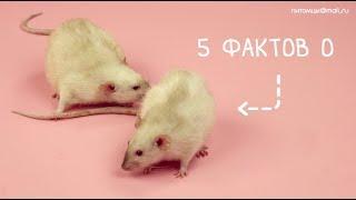 5 фактов о домашних крысах